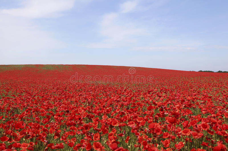 Bright red poppies field stock photo