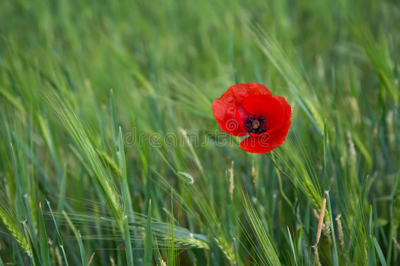 Bright red poppy on a contrasting background of green grass royalty free stock images