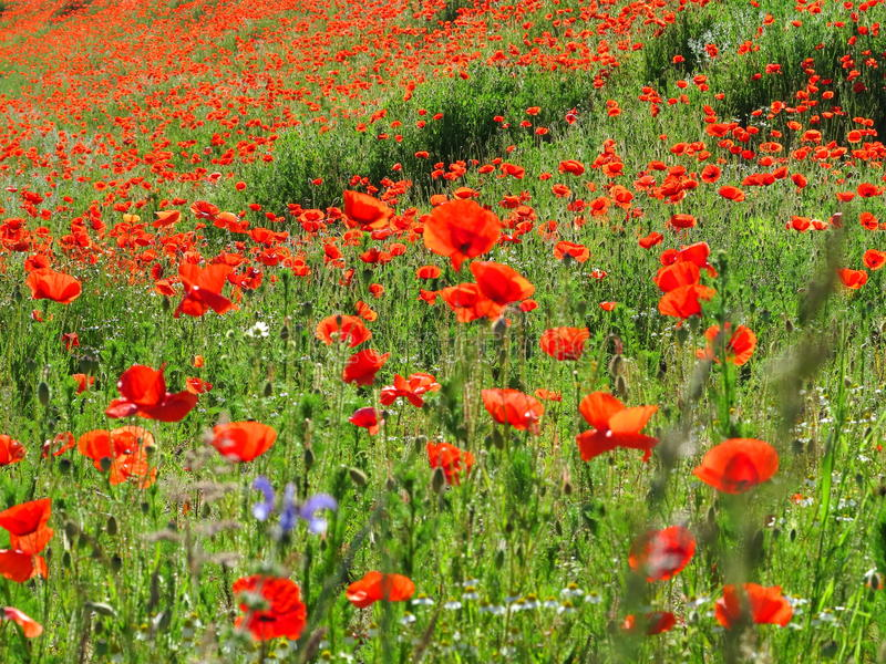 Bright red poppy field. The landscape of a colorful poppy field - a sea of flowers between green rye