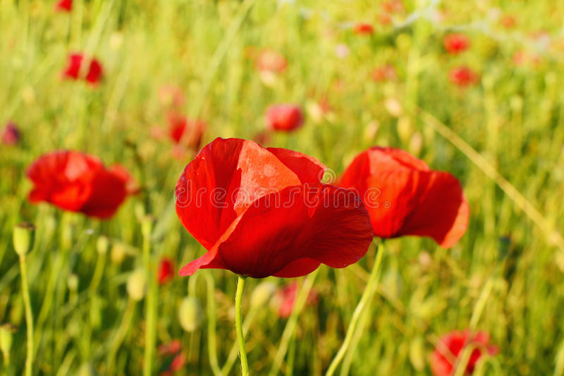 Bright red poppy flower field in summer royalty free stock photos
