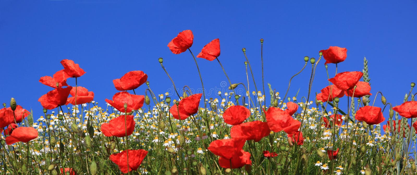 Bright red poppy flowers and marguerites against blue sky royalty free stock images