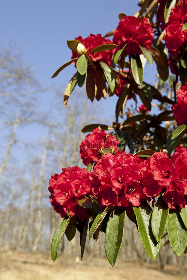 Download Bright Red Rhododendrons stock image. Image of bright - 30737063
