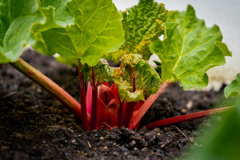 Bright red rhubarb growing in daylight, in a garden, from a rhubarb crown. Rhubarb stalks showing with big leaves, containing royalty free stock photos