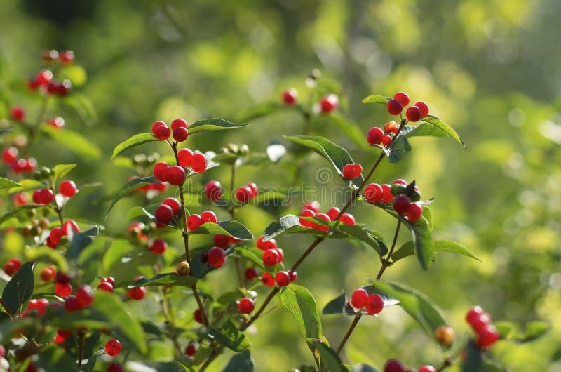 Red berries of honeysuckle with beautiful bokeh royalty free stock photo