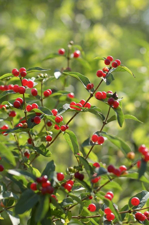 Red berries of honeysuckle with beautiful bokeh stock images