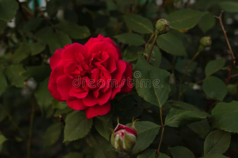 Bright red rose flower on a background of green leaves of a bush close-up royalty free stock photos