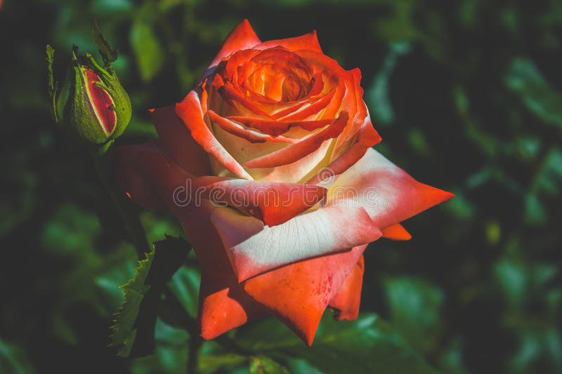 Bright red rose flower royalty free stock photo