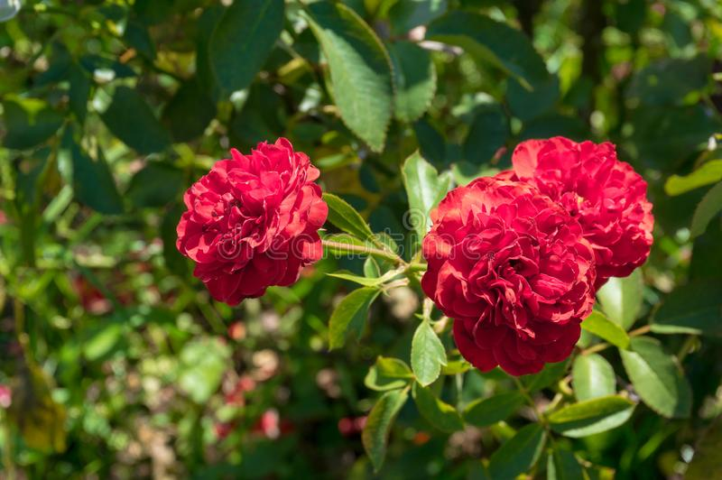 Bright red rose flowers in the garden. Nature background stock photos