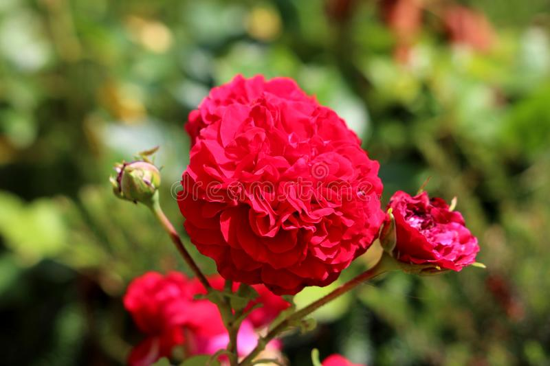 Bright red rose with fully open blooming densely layered petals surrounded with closed rose buds and other flowers in local urban. Garden on warm sunny spring royalty free stock photos