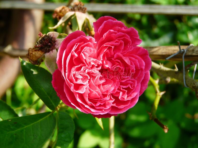 Bright red rose mon daeng prasert. Full bloom bright red rose rosaceae mon daeng prasert to delight the garden with fragrance and bright color the temperature stock photo