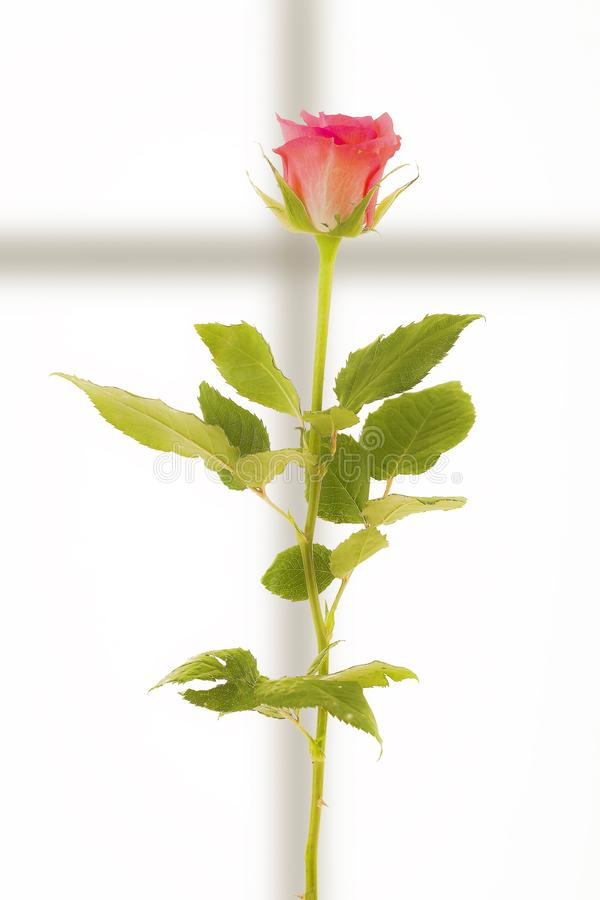 Bright red rose on a white background and a shadow in the shape of a cross stock photography