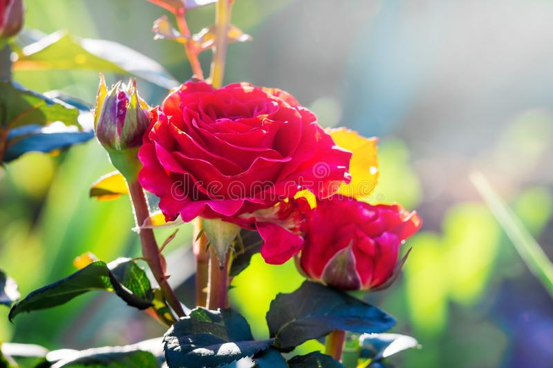 Bright red roses in garden against sun in sunny summer mornin royalty free stock photography