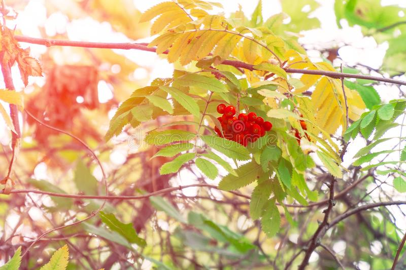 Bright Red Rowan berries swaying wind. In the sunlight. Soft focus stock photography