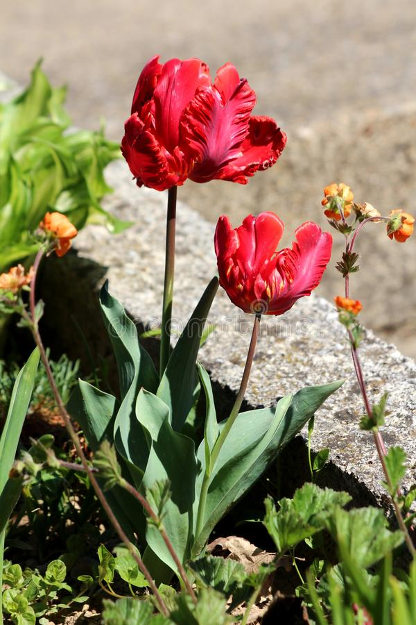 Bright red with small yellow details jagged tulips surrounded with dark green leaves and other flowers in local garden next to. Concrete steps on warm sunny royalty free stock photos