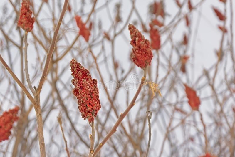Bright red staghorn sumac flower on bare winter branches, Rhus typhina. royalty free stock photography