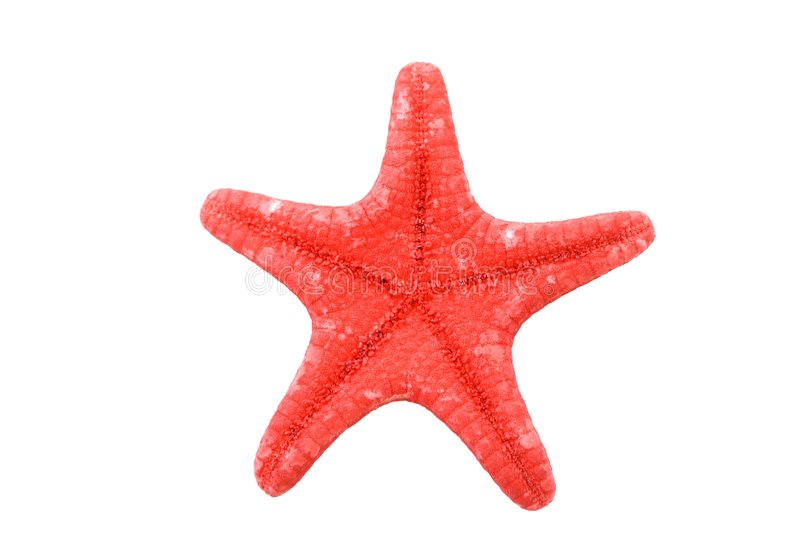 Bright red starfish isolated. On white background royalty free stock photography