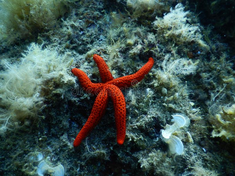 A Bright Red Starfish in the Mediterranean. That I found resting enjoying the tranquility of the royalty free stock photo