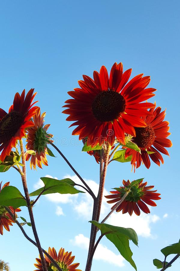 Bright red sunflowers. Tall bright red sunflowers against a blue sky royalty free stock photo