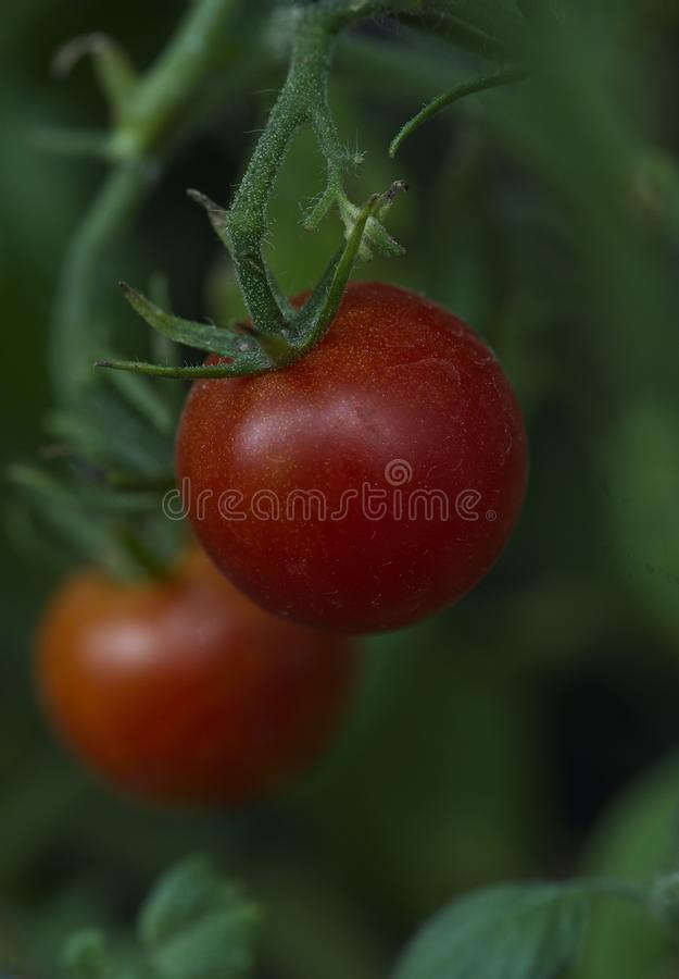 Bright Red Tomato Ready to be Picked royalty free stock images