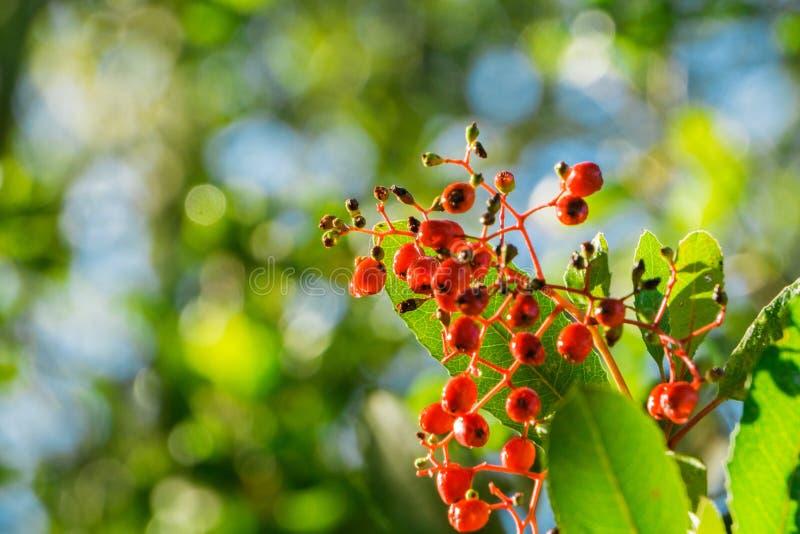Bright red Toyon (Heteromeles) berries still wet from a morning rain, Sunol Regional Wilderness, San Francisco bay area, royalty free stock photo