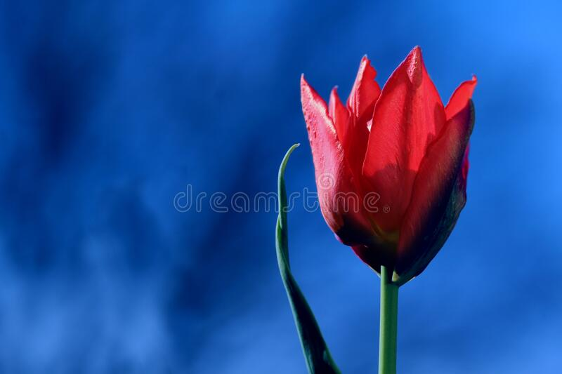 Bright Red Tulip on Blue Background stock photos