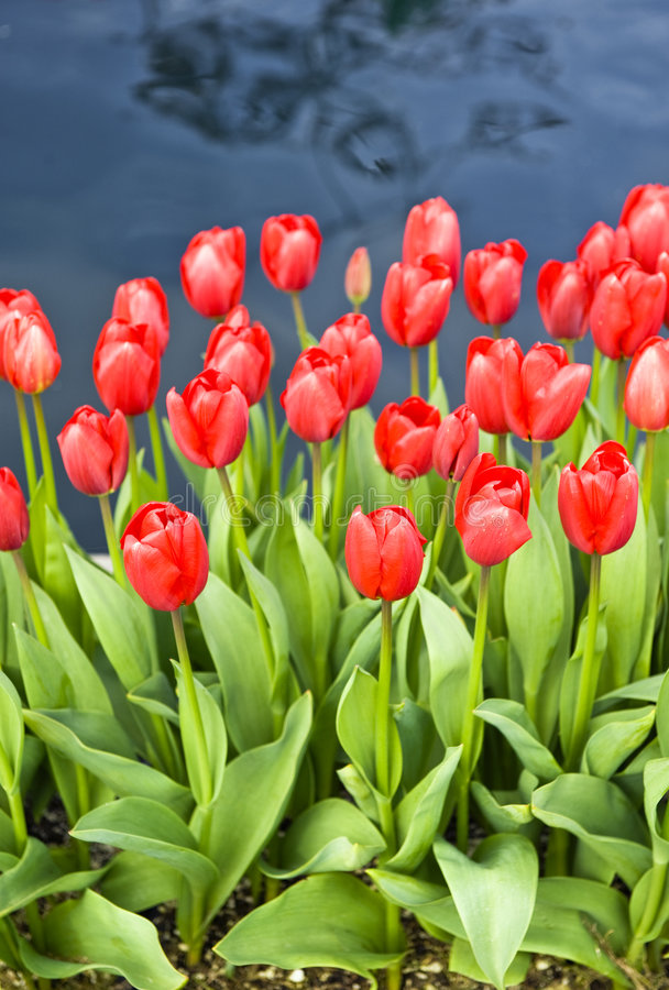 Bright Red Tulips royalty free stock image