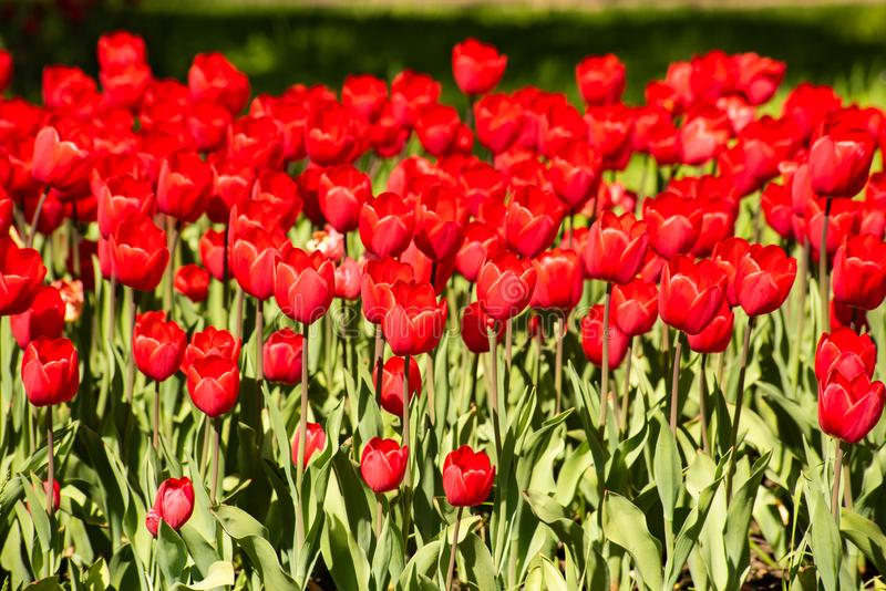 Bright red tulips in the flowerbed. Is close, plant, spring, vibrant, colorful, nature, garden, petal, beautiful, season, field, summer, bloom, background royalty free stock photo
