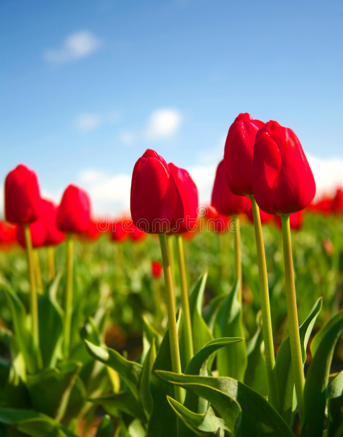 Bright Red Tulips in Spring royalty free stock image