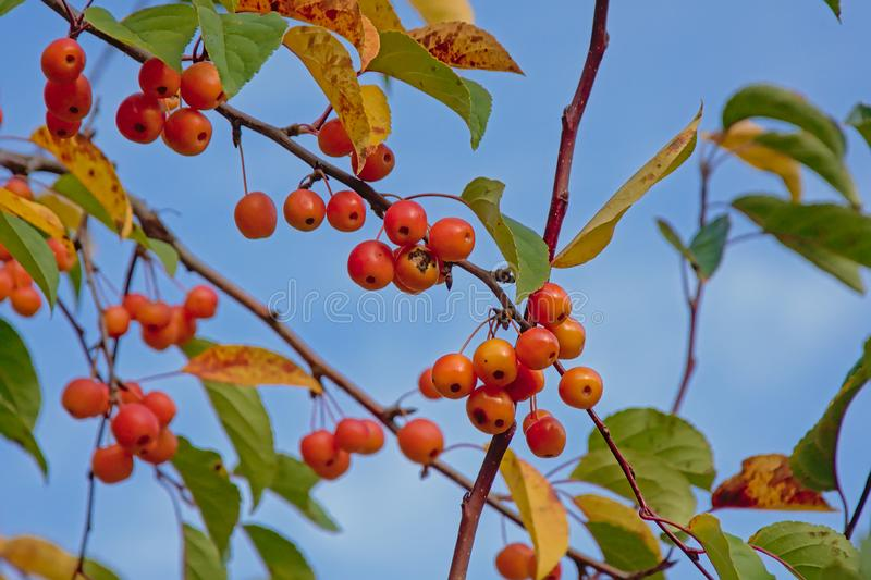 Bright red winterberries and green and yellow leafs on a clear blue sky royalty free stock photography