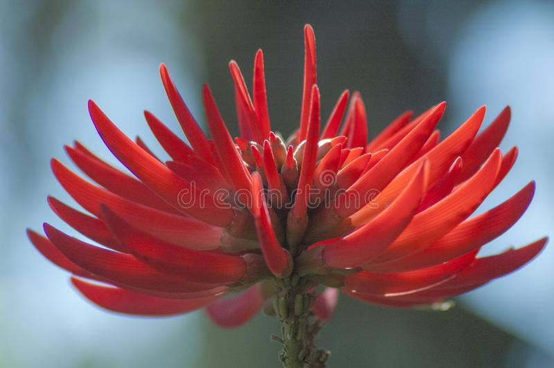 Bright Red South African Coral tree flower royalty free stock images