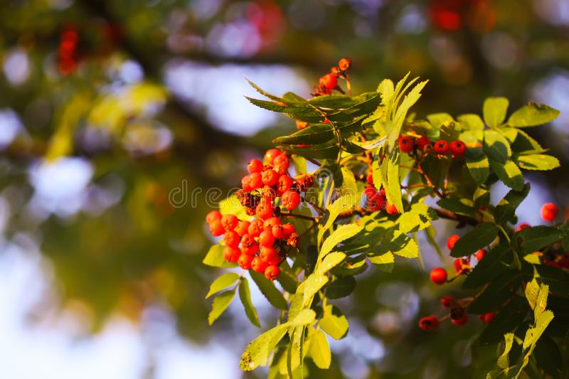 Bright ripe Rowan berries illuminated by the sunset sun beams. Forest nature details in august stock photo