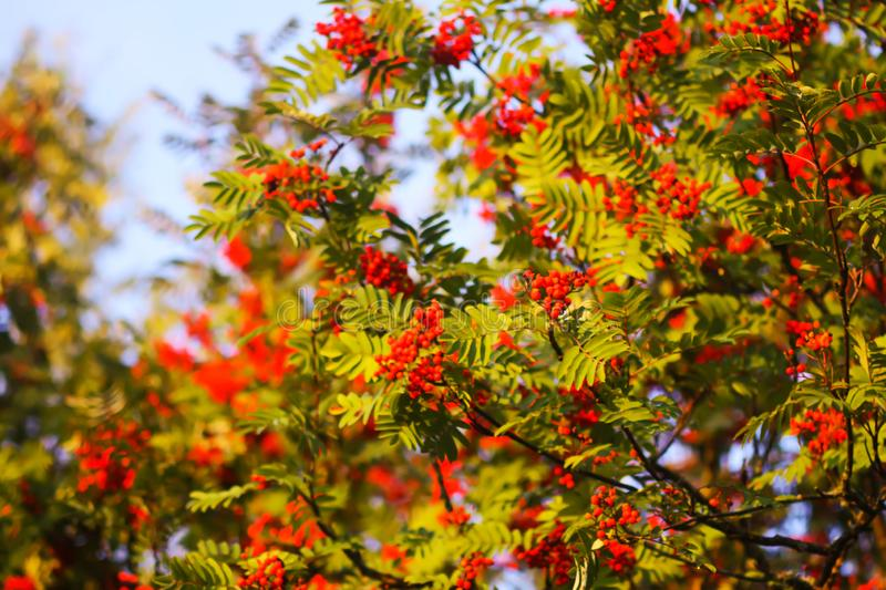 Bright ripe Rowan berries illuminated by the sunset sun beams. Forest nature details in august royalty free stock photography