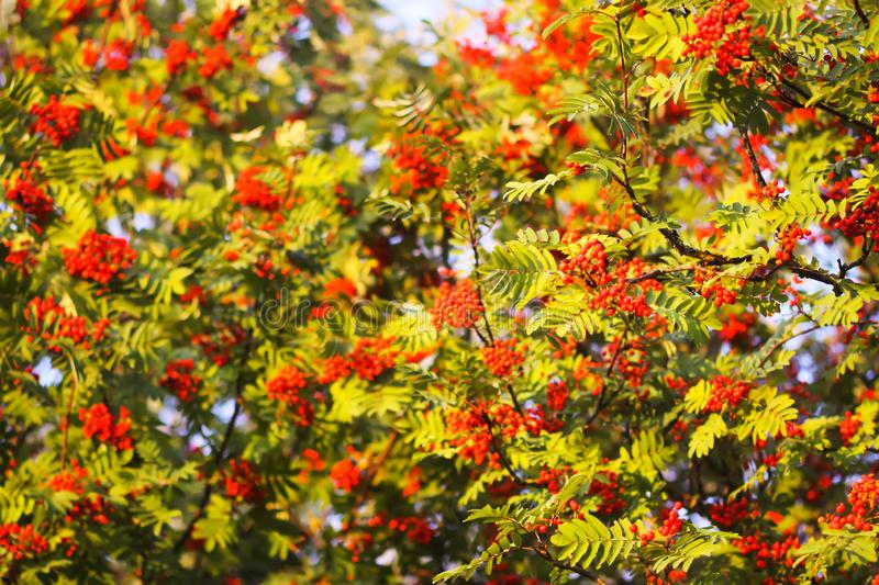 Bright ripe Rowan berries illuminated by the sunset sun beams. Forest nature details in august stock photography