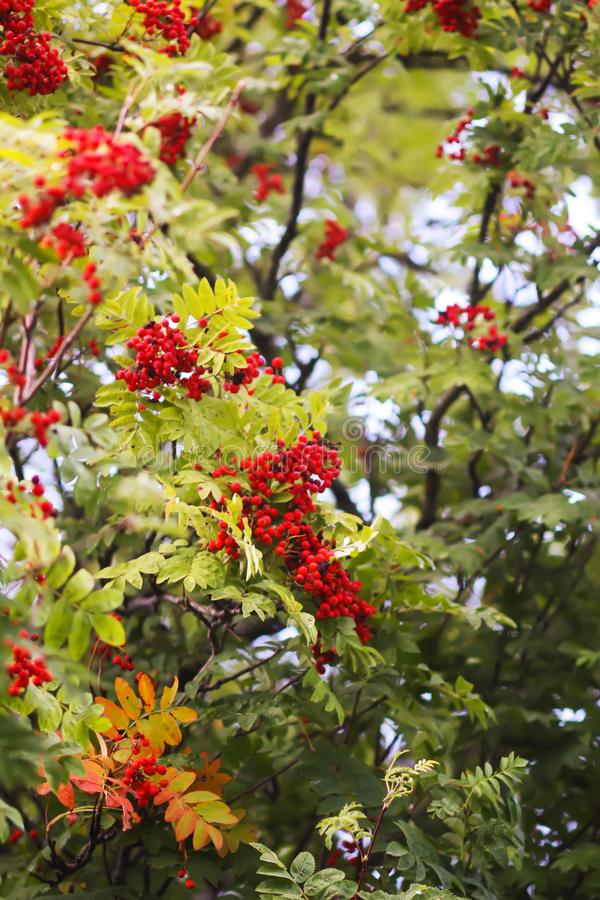 Bright ripe Rowan berries illuminated by the sunset sun beams. Forest nature details in august royalty free stock photo