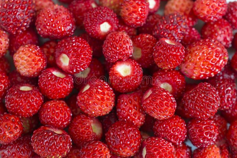 Bright ripe wild strawberries  - many small berries-close-up macro royalty free stock images