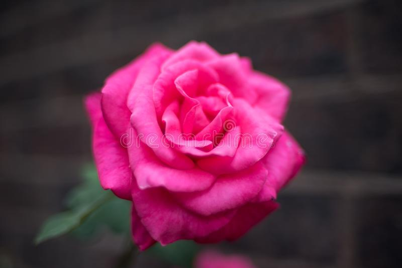 Bright rose flower close up. Nature background stock photo