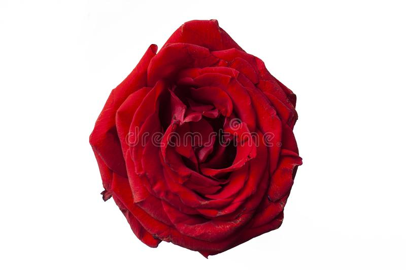 Bright rose. Red rose. White background. Young rose. Blossom. stock image