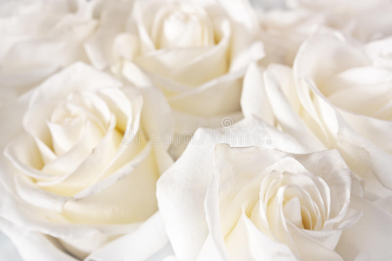 Bright roses. A lot of them as a floral background stock image