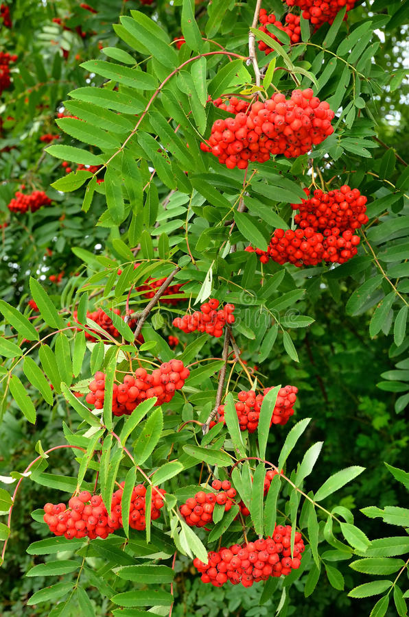 Bright rowan berries. On a tree royalty free stock images
