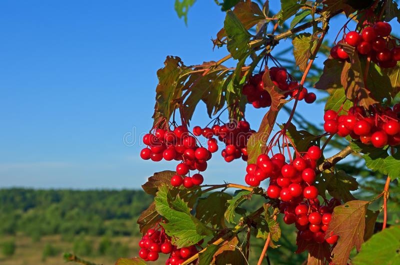 Bright rowan berries on a tree. Branch of a mountain ash (rowan) with red berries against the blue sky stock images