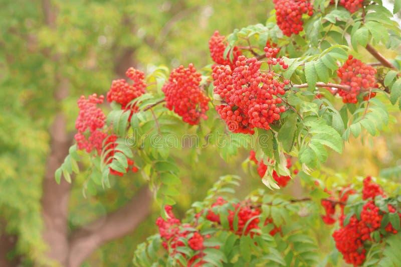 Bright rowan berries on a tree. Autumn rowan berries ashberry. Sorbus aucuparia royalty free stock photos