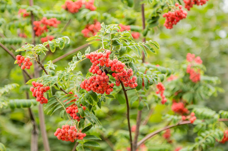 Bright Rowan berries on a tree in September, texture, background royalty free stock images