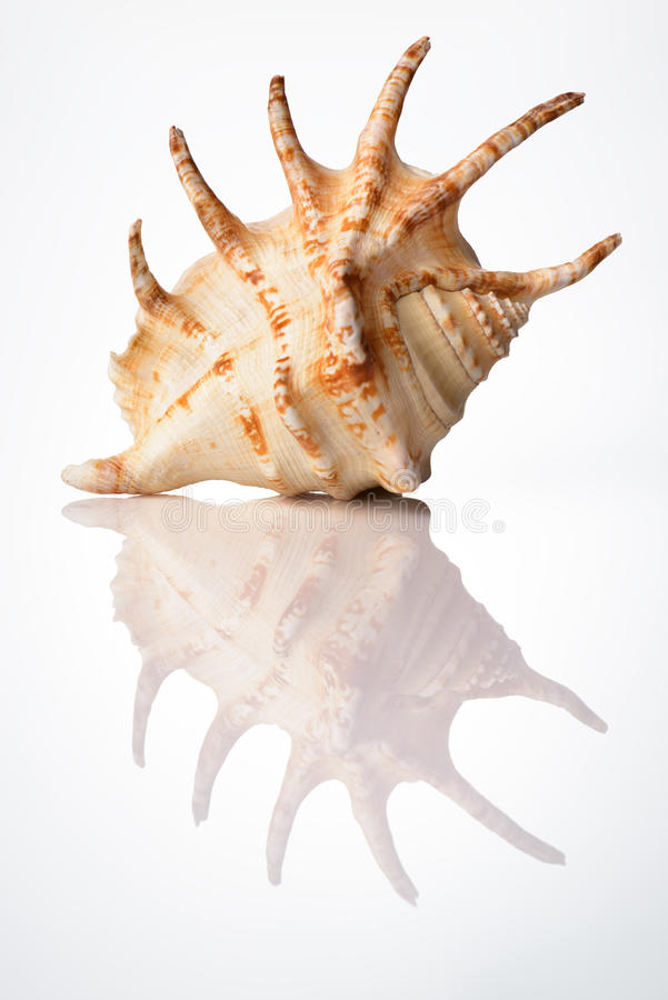 Bright sea shell. Sea shell Lambis arahnoidus with reflection on white background royalty free stock image