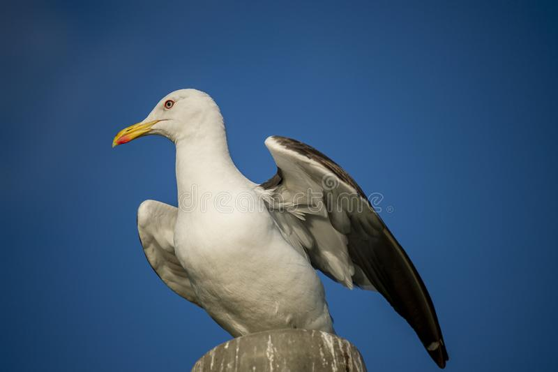 White Seagull sitting on a lamppost. royalty free stock photos