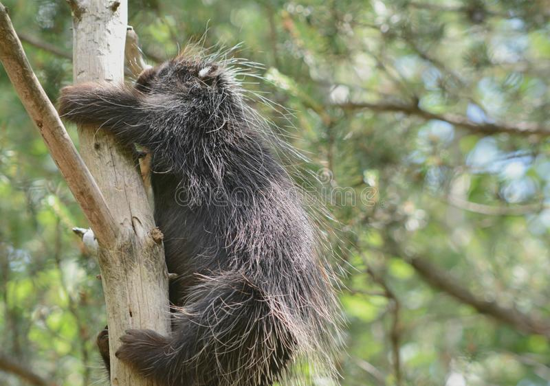 Climbing North American Porcupine. Bright seasonal closeup on a solitary north american porcupine, steadily climbing up a bare tree trunk stock photography