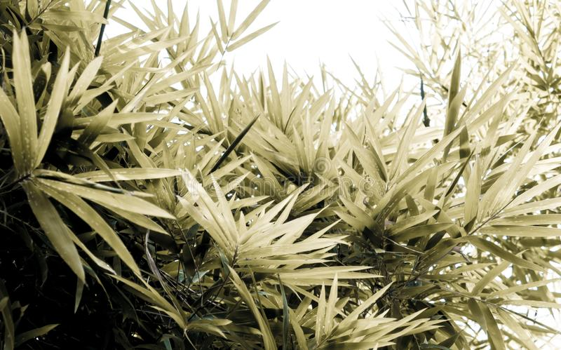 Bright sepia of bamboo leaves. Bright sepia color of bamboo leaves stock photography