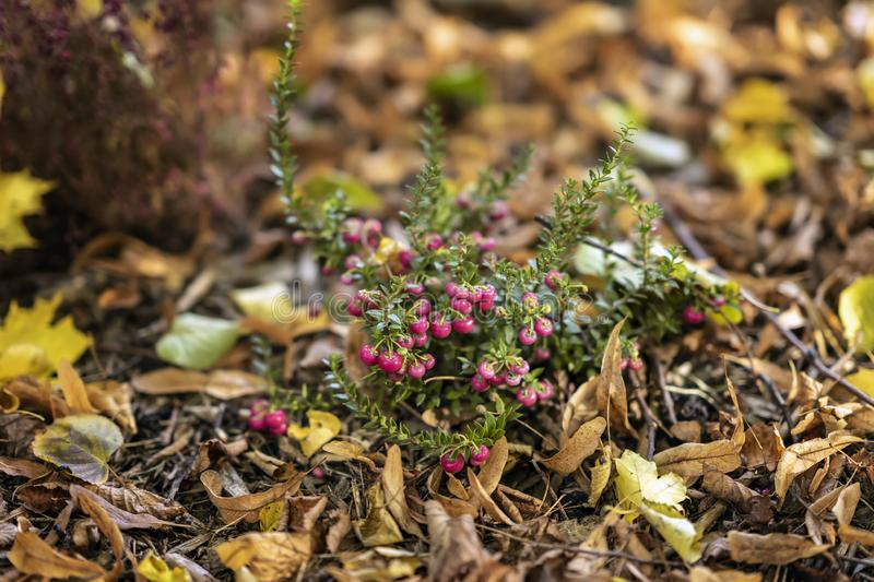 Bright short evergreen shrub of cowberry, Vaccinium among the fallen autumn maple foliage. Evergreen plant. Natural stock photography