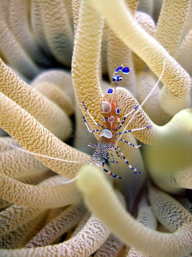 Bright shrimp and anemone. A bright painted anemone shrimp turns this anemone into a cleaning station for fish as it offers its services to pick off parasites stock image