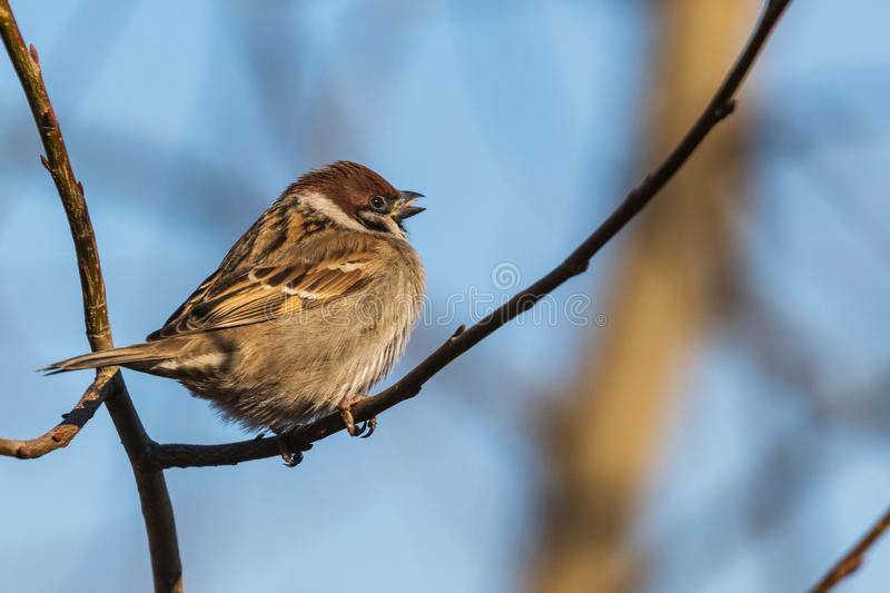A bright sparrow sits on a branch and looks at the photographer on a sunny day against the blue sky. Close-up. Wild nature stock image