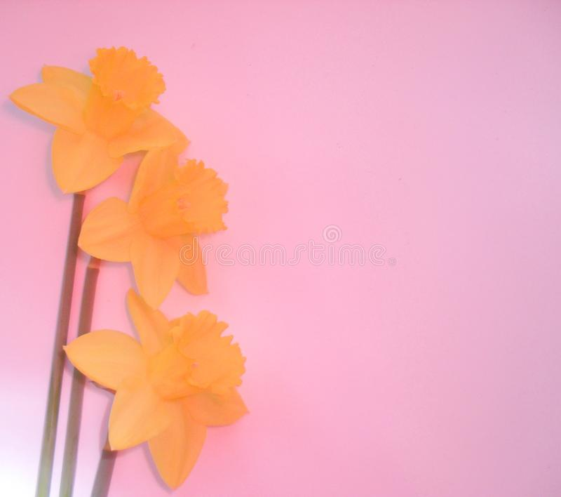 Bright spring yellow daffodils on pink background. Bright spring yellow daffodils on pink tone background flowers frame stock images